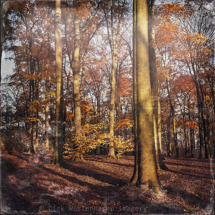 Afternoon sun in a beech tree forest. Texturized photo.