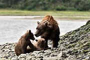 A brown bear sow known as Bearded Lady plays with her spring cubs at the McNeil River State Game Sanctuary on the Kenai Peninsula, Alaska. The remote site is accessed only with a special permit and is the world's largest seasonal population of brown bears