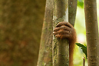 A sumatran orangutan clings on for survival on Sumatra.