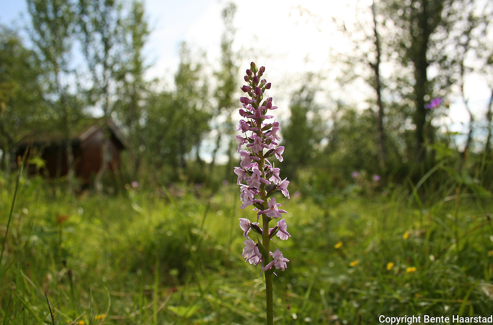 Wild orchids in Norway. Ville orkideer, fra Selbu og Tydal i Tr&oslash;ndelag. Gymnadenia conopsea, brudespore. Orkideen er p&aring; norsk r&oslash;dliste. Fragrant Orchid is a flower that has a scent similar to cloves. It has a distinctive three lobed lip and long spurs. <br /> This species' habitat includes lime, grassland, and fens throughout northern Europe. Flekkmarihand (Dactylorhiza maculata)er den vanligste orkideen i Norge. The Heath Spotted Orchid or Moorland Spotted Orchid.