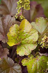 Rust damage (Puccinia heucherae) on a leaf of Heuchera 'Blondie'