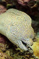 A large Moray Eel on display at the Churaumi Aquarium in Okinawa, Japan.