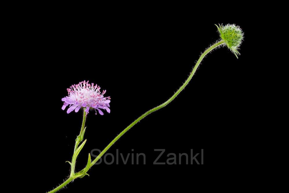 Skabiose (Knautia arvensis) - Acker-Witwenblume