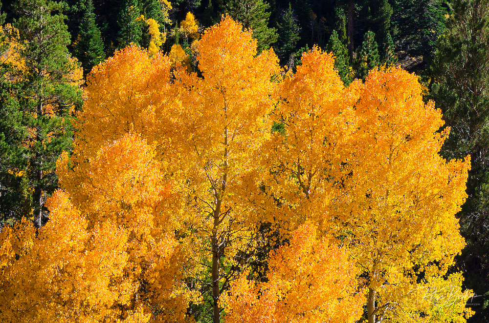 Golden fall aspen along Rush Creek, Inyo National Forest, Sierra Nevada Mountains, California USA