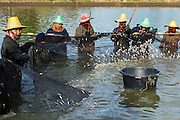 14 MAY 2013 - BANGTATHEN, SAPHUNBURI, THAILAND:   Workers haul in a net full of baby fish and shrimp on a shrimp farm in Saphunburi, Thailand. Early mortality syndrome, better known as EMS -- or Acute Hepatopancreatic Necrosis Syndrome, (AHPNS) as scientist refer to it -- has wiped out millions of shrimp in  Thailand, the leading shrimp exporter in the world. EMS first surfaced in 2009 in China, where farmers noticed that their prawns had begun dying en-masse, without any identifiable cause. By 2011, shrimp farms in China's Hainan, Guangdong, Fujian and Guangxi provinces were suffering losses as great as 80%. Farmers named the disease based on its immediate effect - Early Mortality Syndrome. After China, EMS devastated shrimp farms in Vietnam and Malaysia. The province of Tra Vinh, Vietnam, saw 330 million shrimp die in the month of June 2011 alone. In Malaysia, where EMS first emerged in 2010, commercial prawn production declined by 42%. EMS hit Thailand in early 2013. As a result of early die offs in Thailand many farmers left their shrimp ponds empty and stores that sell shrimp farm supplies have reported up to 80% drop in business as shrimp farm owners have cut back on buying.      PHOTO BY JACK KURTZ