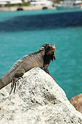 Rock Iguana (Cyclura) basking in the sun photographed on St Thomas, US Virgin Islands, Caribbean