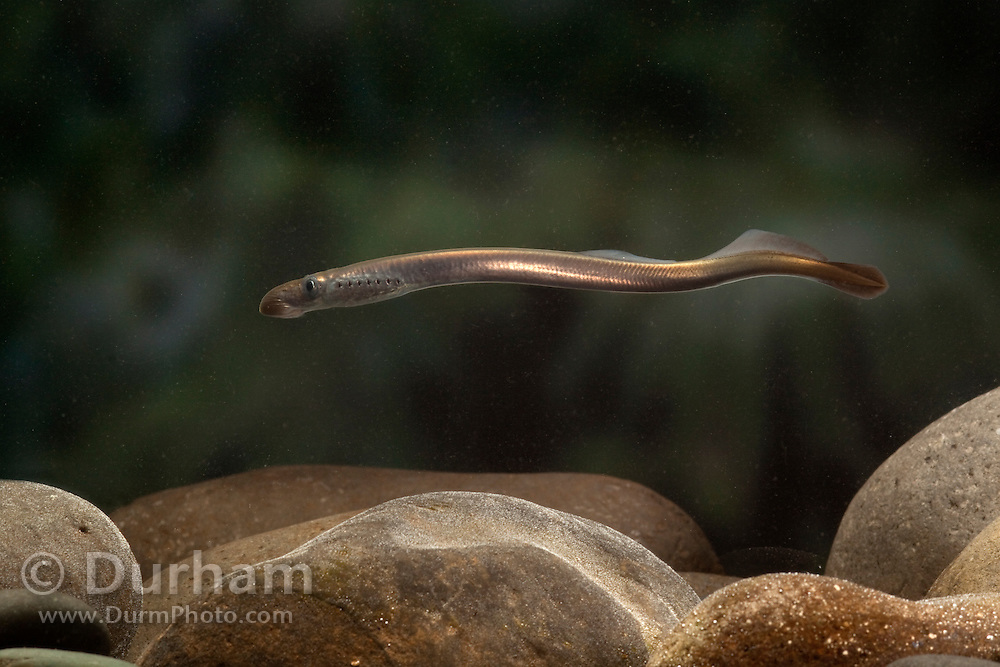 An juvenile Pacific Lamprey (Lampetra tridentata). These fish have an ancient lineage, appearing in the fossil record nearly 450 million years ago – well before the age of the dinosaurs. Pacific lamprey are an important ceremonial food for Native American tribes in the Columbia River basin. Little is known about the life history or habits of this fish except that their numbers in the Columbia River have greatly declined over several decades. Photographed at the USGS Columbia River Research Lab in Willard, Washington.