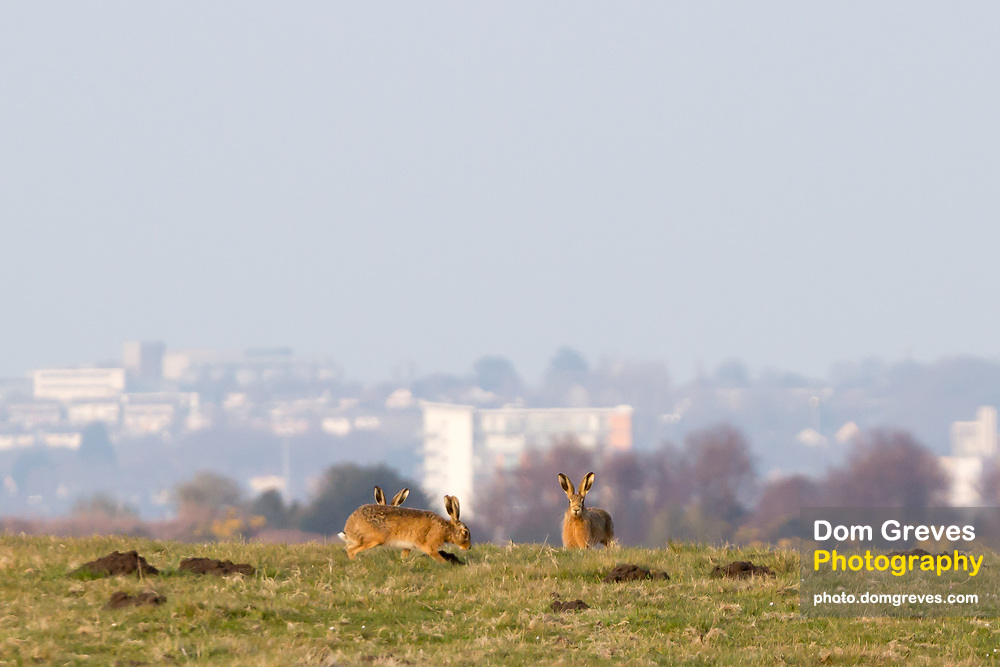 Brown hares above Poole Harbour. Isle of Purbeck, Dorset, UK.