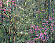 Redbud and dogwood, Great Smoky Mountains National Park, Tennessee  1991
