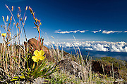 An Evening Primrose (Oenothera stricta) blooms near the summit of Mount Haleakalā volcano on Maui, Hawaii. Also called the East Maui Volcano, it is a massive 3,055 m (10,023 ft) high shield volcano that forms more than 75% of the Hawaiian Island of Maui and last erupted in the 17th century. <br /> <br /> Haleakalā means &ldquo;House of the Sun&quot; and its tallest point is Puʻu ʻUlaʻula (Red Hill). The crater depression is over 11.2 km (7 mi) across, 3.2 km (2 mi) wide, and nearly 800 m (2,600 ft) deep. <br /> <br /> In Hawaiian folklore, the Haleakalā crater was home to the grandmother of the demigod Māui.  According to the legend, Māui's grandmother helped him capture the sun and force it to slow its journey across the sky in order to lengthen the day.