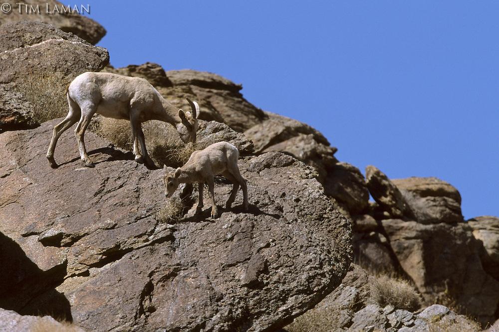 Female Desert bighorn sheep (Ovis canadensis nelsoni) with lamb..Anza-Borrego Desert State Park, California.  Mar 2002..