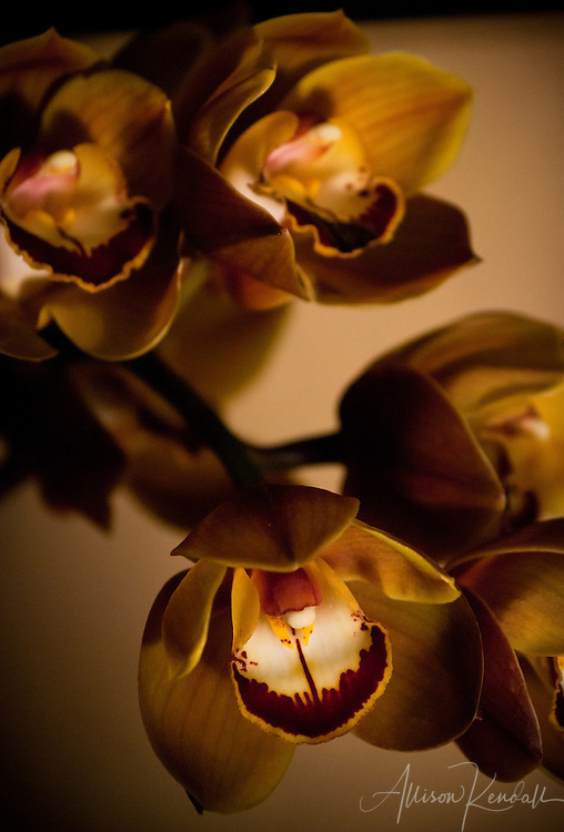 Dusky bronze, gold and red, darkly beautiful cymbidium orchid flowers capture moody light