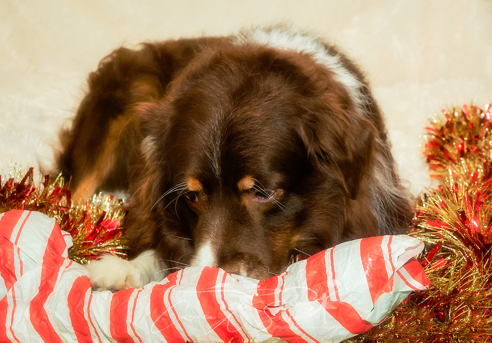 Cowboy, a six-year-old, red tri Australian Shepherd, opens his Christmas present, a stuffed alligator, Dec. 26, 2014, in Coden, Alabama. (Photo by Carmen K. Sisson/Cloudybright)