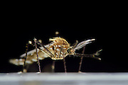 Male Mosquito (Ochlerotatus japonicus) adult, Invasive Species, Freiburg, Germany | Männchen der Japanische Buschmücke (Ochlerotatus japonicus) Freiburg, Deutschland