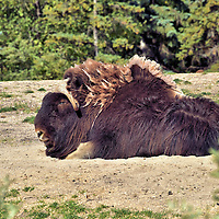 Muskox Resting at Zoo in Winnipeg, Canada<br /> This muskox at the Assiniboine Park Zoo does not look very motivated but it can reach a speed of 37 miles an hour which is surprising for an animal that can exceed 800 pounds.  Both genders have curved horns. They are native to the Artic regions of Canada and Greenland. After becoming extinct in Alaska they were reintroduced in 1935.
