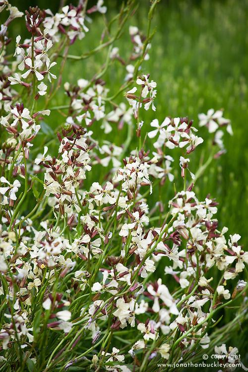 The flowers of Eruca vesicaria subsp. sativa - Garden rocket, Salad rocket, Arugula