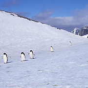 Adelie Penguin, (Pygoscelis adeliae) On Laurie Island. South Orkney Islands. Antarctica.
