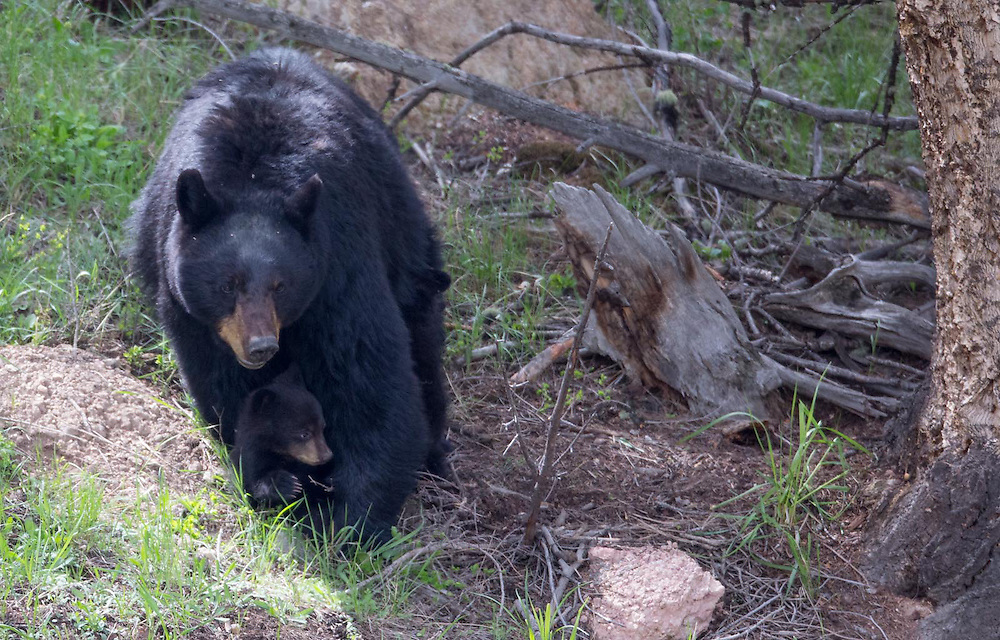Black bear sheltering her cub. Yellowstone National Park