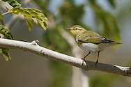 Wood Warbler Phylloscopus sibilatrix L 11-12cm. Colourful warbler with a distinctive song and precise habitat requirements. Sexes are similar. Adult and juvenile have olive-green upperparts, bright yellow throat and supercilium, and clean white underparts. Note dark eyestripe and pale pink legs. Voice Utters a sharp tsip call. Song (likened to a coin spinning on a plate) starts with ringing notes and accelerates to a silvery trill. Status Locally common summer visitor to mature woodlands with tall trees, limited ground cover and closed canopy; Sessile Oak woods in W and N are favoured, and Beech woods elsewhere.