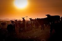 VACAS EN UN FEED LOT, CARMEN DE ARECO, PROVINCIA DE BUENOS AIRES, ARGENTINA