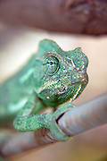 close up of a chameleon front view