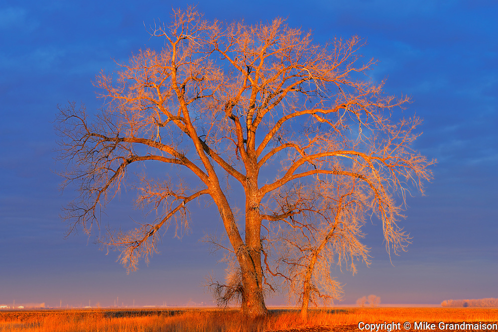 Cottonwood tree  (Populus deltoides) at sunrise<br /> Grande Pointe<br /> Manitoba<br /> Canada