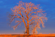 Cottonwood tree  (Populus deltoides) at sunrise<br /> Grande Pointe<br /> Manitoba<br /> Canada