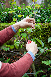 Pruning a cordon trained apple tree - reducing the length of stems. Malus domestica