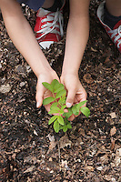 Girl (7-9) planting black locust tree seedling close-up of hands and feet