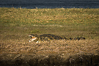A Nile Crocodile resting on a riverbank in Chobe National Park, Botswana