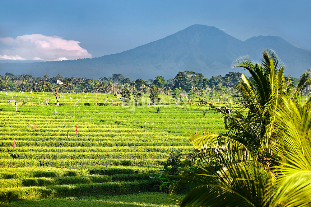 Ricefields beneath the ancient volcano Gunung Batukaru