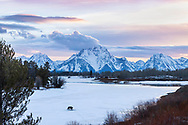 """Grizzly at Oxbow Bend in Grand Teton National Park at sunset. When printed large you can see the trumpeter swans, ducks, geese and a beaver at the open water. Custom prints can be ordered up to 40X60 inches.  It is amazing on aluminum. <br /> <br /> My favorite photo of 2013<br /> <br /> For production prints or stock photos click the Purchase Print/License Photo Button in upper Right; for Fine Art """"Custom Prints"""" contact Daryl - 208-709-3250 or dh@greater-yellowstone.com"""