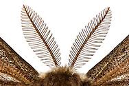 Antenna /antennae  of a small Emperor Moth (Saturnia pavoniella). Male moths have comb-like feathery antennae. Due to this increase in surface area, the sensitivity of the olfactory organ is significantly increased. Each antennae is covered with hundreds of fine hairs, which are located on the olfactory receptors. In this way mating pheromones can be detected at large distances which are emitted by females. Studio, Goose, Germany. / Fuehler/Antennen eines kleinen Nachtpfauenauges (Saturnia pavoniella). Maennliche Falter besitzen kammartig gefiederte Antennen. Durch diese Oberflaechenvergroesserung wird die Empfindlichkeit des olfaktorischen Organs deutlich erhoeht. Jeder Fuehler ist mit hunderten feiner Haare bedeckt, auf denen sich die Geruchsrezeptoren befinden. Auf diese Weise koennen von paarungsbereiten Weibchen abgegebene Pheromone auf grosse Distanzen erkannt werden. Studio, Goosefeld, Deutschland.