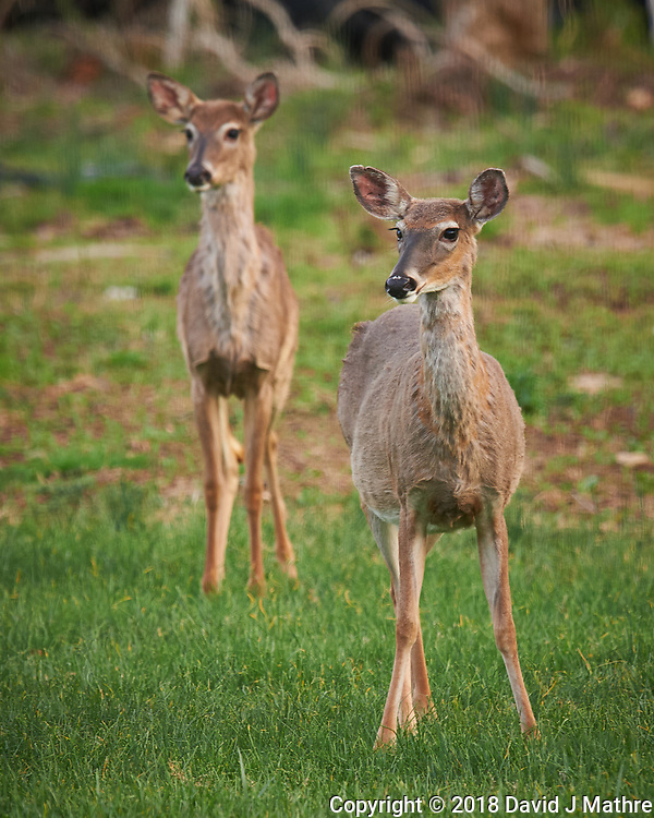 Pair of Wary Deer. Image taken with a Nikon D4 camera and 600 mm f/4 VR telephoto lens