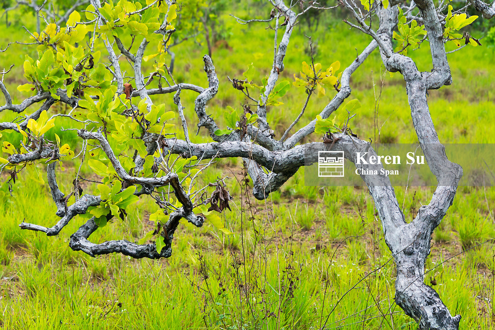 Tree, North Rupununi, southern Guyana