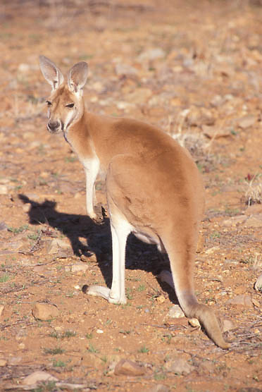 Red Kangaroo, (Macropus rufus) Australia.