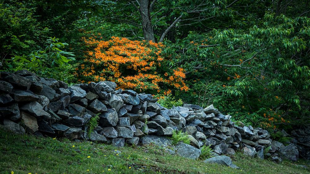 Flame Azalea, appalachian Trail, Carver's Gap, Tennessee