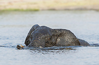 An African Elephant bull swims across the Chobe River, Kasane, Botswana.