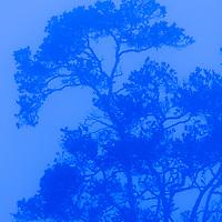 TNC Big Island Honomalino Preserve, Ohia tree