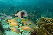 Bluestriped Grunt (Haemulon sciurus) & Black margate (Anisotremus surinamensis) & Mahogany Snapper (Lutjanus mahogoni)<br /> Hol Chan Marine Reserve<br /> near Ambergris Caye and Caye Caulker<br /> Belize<br /> Central America