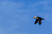 Atlantic Puffin flying and carring fish at Machias Seal Island