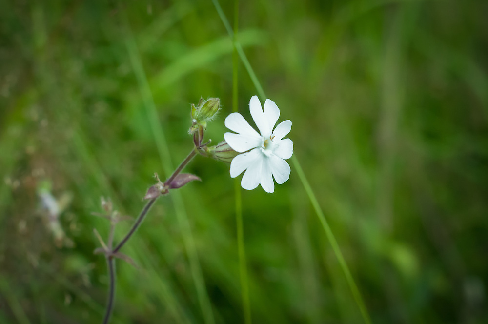 A widespread North American naturalized wildflower that orginates from the Old World, the white campion is a summer bloomer that is found often in disturbed areas. This one was photographed<br />  about 35 miles south of Seattle, Washington in suburban Federal Way.