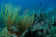 Coral garden, slit-pore sea rods, sponges, hard coral, star coral, Grand Cayman