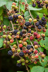 Wild blackberrries growing in a hedgerow. Rubus fruticosus agg - Blackberry, bramble
