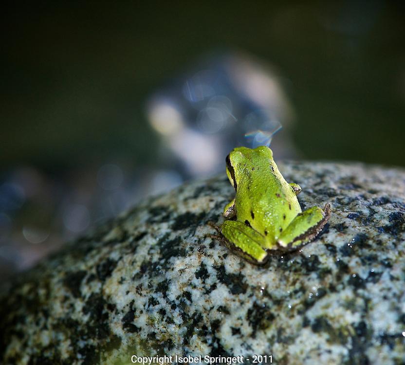 Pacific Tree Frog. (Hyla regilla), Courtenay, British Columbia, Canada, Isobel Springett