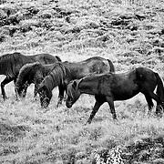 Icelandic horses, Eldhestar