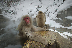 A snow monkey spreads out over the edge of a hot spring by a river in Japan.