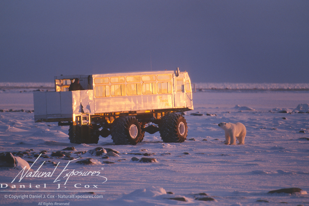 A tourist watching polar bears (Ursus maritimus) from a Tundra Buggy vehicle. Churchill, Manitoba, Canada