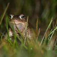 Natterjack toad (Bufo calamita), strandpadda; stinkpadda<br /> Location: Eskilstorps ängar, Skåne, Sweden