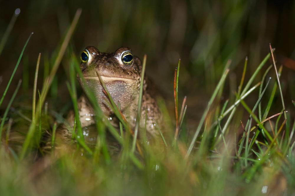 Natterjack toad (Bufo calamita), strandpadda; stinkpadda<br /> Location: Eskilstorps &auml;ngar, Sk&aring;ne, Sweden